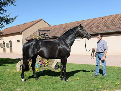 Haras de la Courlais et Horse Breed